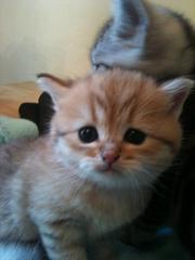 Котята мейн-кун - продажа,  резервирование
